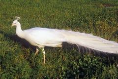 Белый павлин, плантация Middleton, Чарлстон, SC стоковая фотография rf