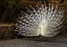 Белый павлин Стоковые Фотографии RF