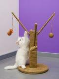 Белый персидский играть котенка Стоковое фото RF