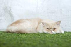 Белый персидский кот спать на искусственной дерновине стоковое изображение rf