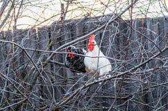 Белый петух и цыпленок в черно-белом запятнанные на ветви дерева Стоковое фото RF