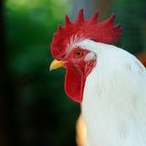 Белый петух (петушок) в профиле Стоковое Изображение RF