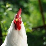 Белый петушок (петух) стоковые фотографии rf