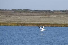 Белый пеликан в пропуске Aransas стоковое изображение rf