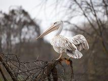 Белый пеликан на ветви дерева Стоковые Фотографии RF
