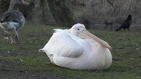 Белый пеликан на озере сток-видео