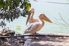 Белый пеликан 2 стоя в тени на береге озера Стоковая Фотография
