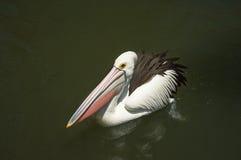 Белый пеликан с поплавками розового клюва красивыми на поверхности пруда стоковое изображение rf