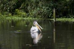 Белый пеликан Стоковые Фото