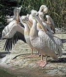 Белый пеликан 9 Стоковое Изображение RF