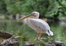 Белый пеликан Стоковое фото RF