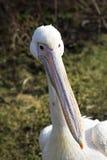 Белый пеликан Стоковые Изображения RF