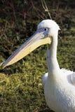 Белый пеликан Стоковое Изображение