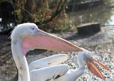 Белый пеликан Стоковые Изображения