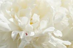 Белый пион Стоковая Фотография