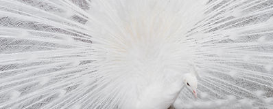 Белый показывать пер павлина Стоковое Фото