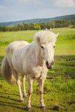 Белый пони на ферме Стоковое Фото