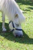 Белый пони 001 Стоковая Фотография