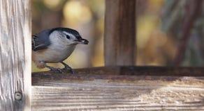 Белый поползневый Breasted на Birdfeeder Стоковая Фотография RF