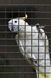 Белый попугай в клетке Стоковые Изображения