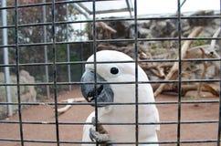 Белый попугай за клеткой Стоковые Фото