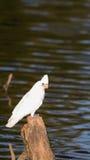 Белый попугай на реке стоковые изображения