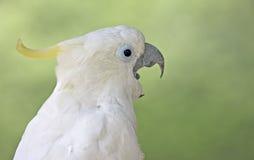 Белый попугай Стоковые Изображения RF