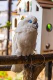 Белый попугай Стоковая Фотография RF