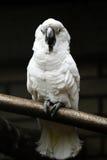Белый попугай Стоковое Фото