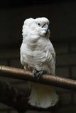 Белый попугай стоковое фото rf