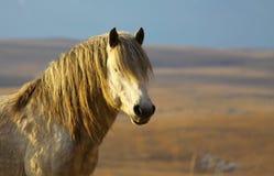 Белый портрет дикой лошади Стоковое фото RF