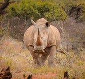 Белый портрет носорога Стоковые Изображения
