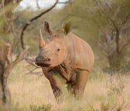 Белый портрет носорога Стоковая Фотография RF