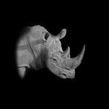 Белый портрет носорога Стоковое Изображение RF