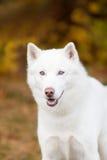 Белый портрет сибирской лайки от комода вверх Стоковое Изображение