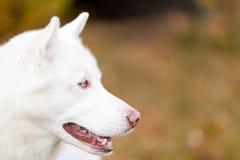 Белый портрет сибирской лайки стороны стороны Стоковое Изображение