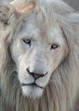 Белый портрет 01 льва Стоковые Фото