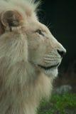 Белый портрет льва Стоковое Изображение RF