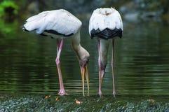Белый подавать Egrets Стоковое Фото