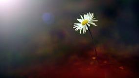 Белый полевой цветок в заходе солнца Стоковое фото RF