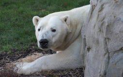 Белый полярный медведь Стоковое Изображение