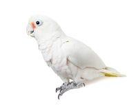 Белый профиль птицы попугая - изолированный на белизне Стоковая Фотография RF