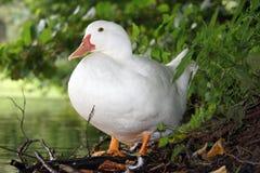 Белый пруд утки в лете Стоковая Фотография