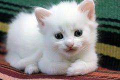 Белый пушистый котенок Стоковая Фотография