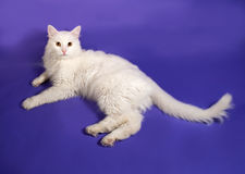 Белый пушистый кот лежа на сирени стоковая фотография rf