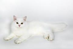 Белый пушистый персидский кот Стоковые Изображения RF