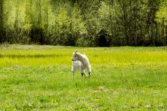 Белый ребенк пася на поле Стоковая Фотография