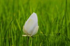 Белый рис в зеленом цвете лист лотоса Стоковое Изображение