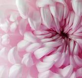 Белый розовый цветок хризантемы closeup Макрос Стоковая Фотография RF