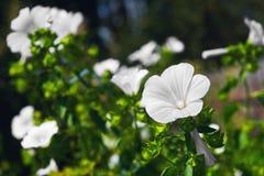 Белый сад цветет ежегодный Lavatera просвирника Стоковая Фотография